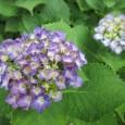 園庭には色とりどりのアジサイが 咲き誇っています。  &n […]